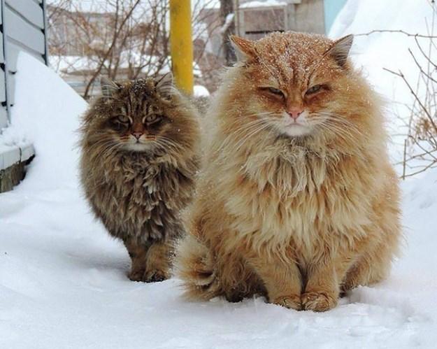 big_pet_cat_04