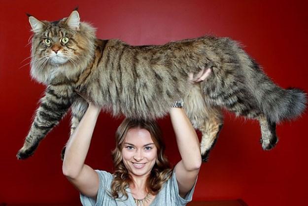 big_pet_cat_05