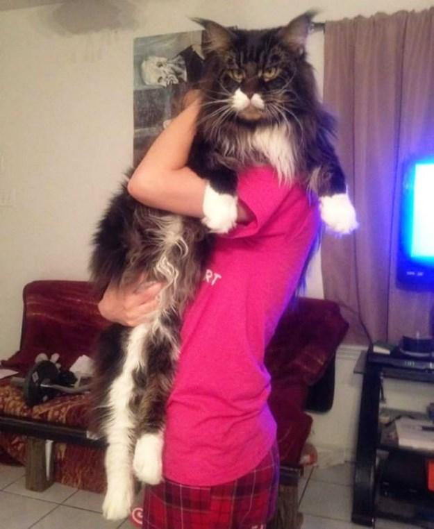 big_pet_cat_07