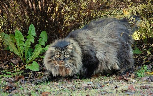 big_pet_cat_19