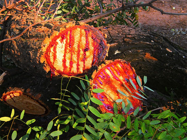 Кровоточащее дерево в Африке