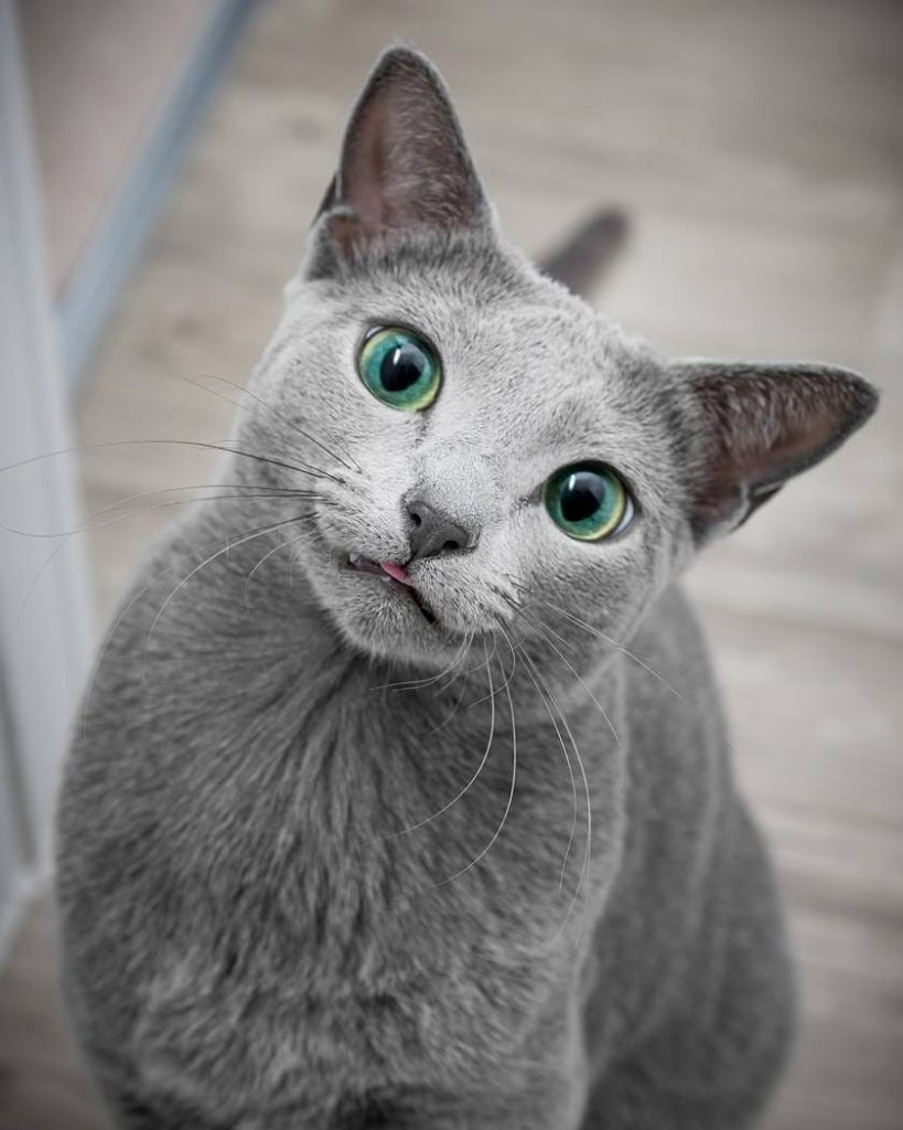 Кошки сёстры с великолепными глазами