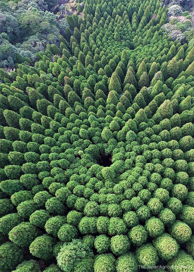 Дрон снимает загадочные круги на деревьях в Японии