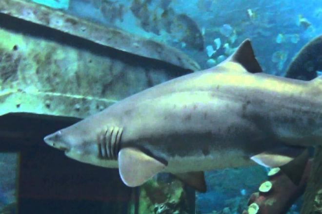 Почему в аквариумах не держат большую белую акулу