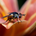 Многоликие мухи