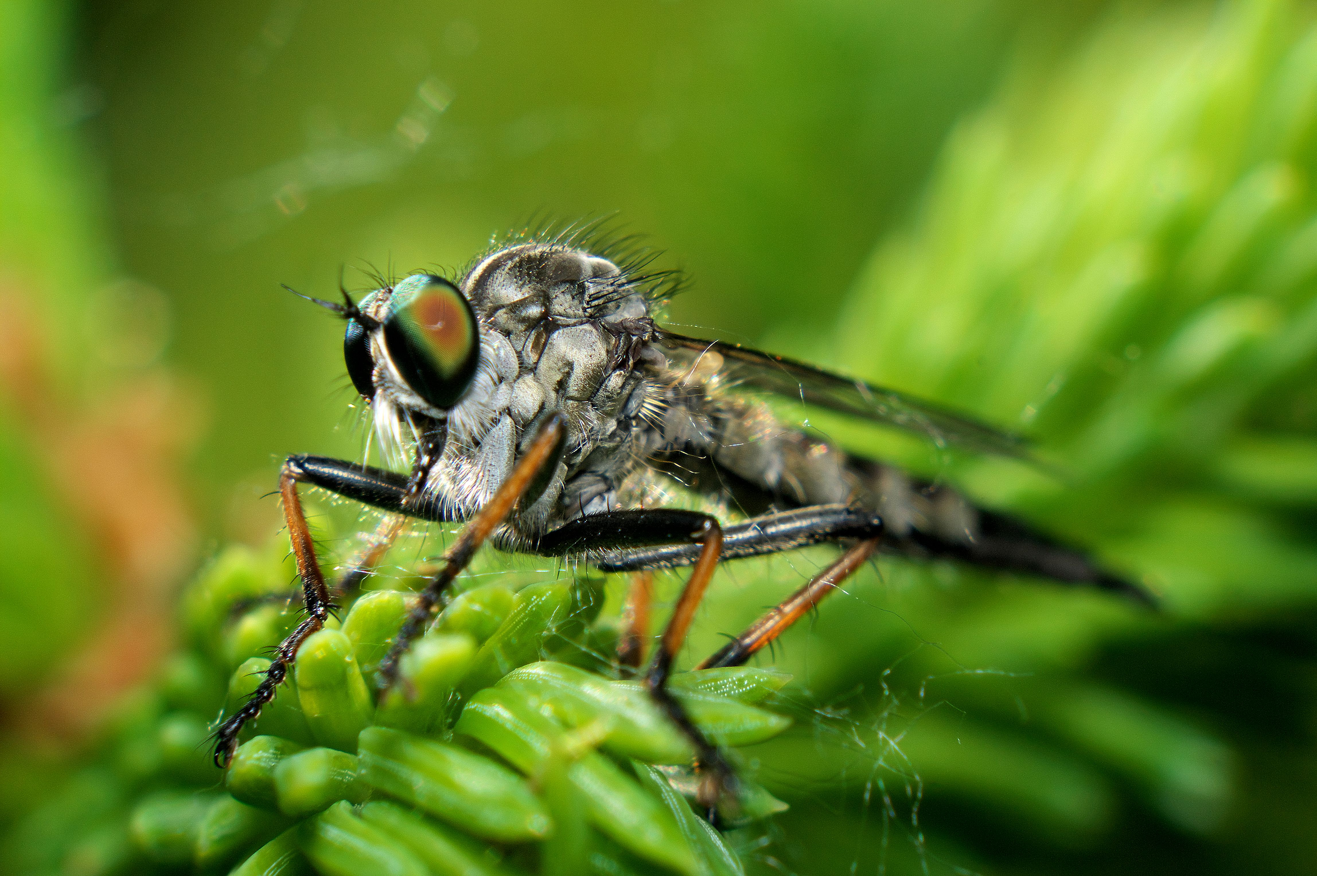 blowfly_036