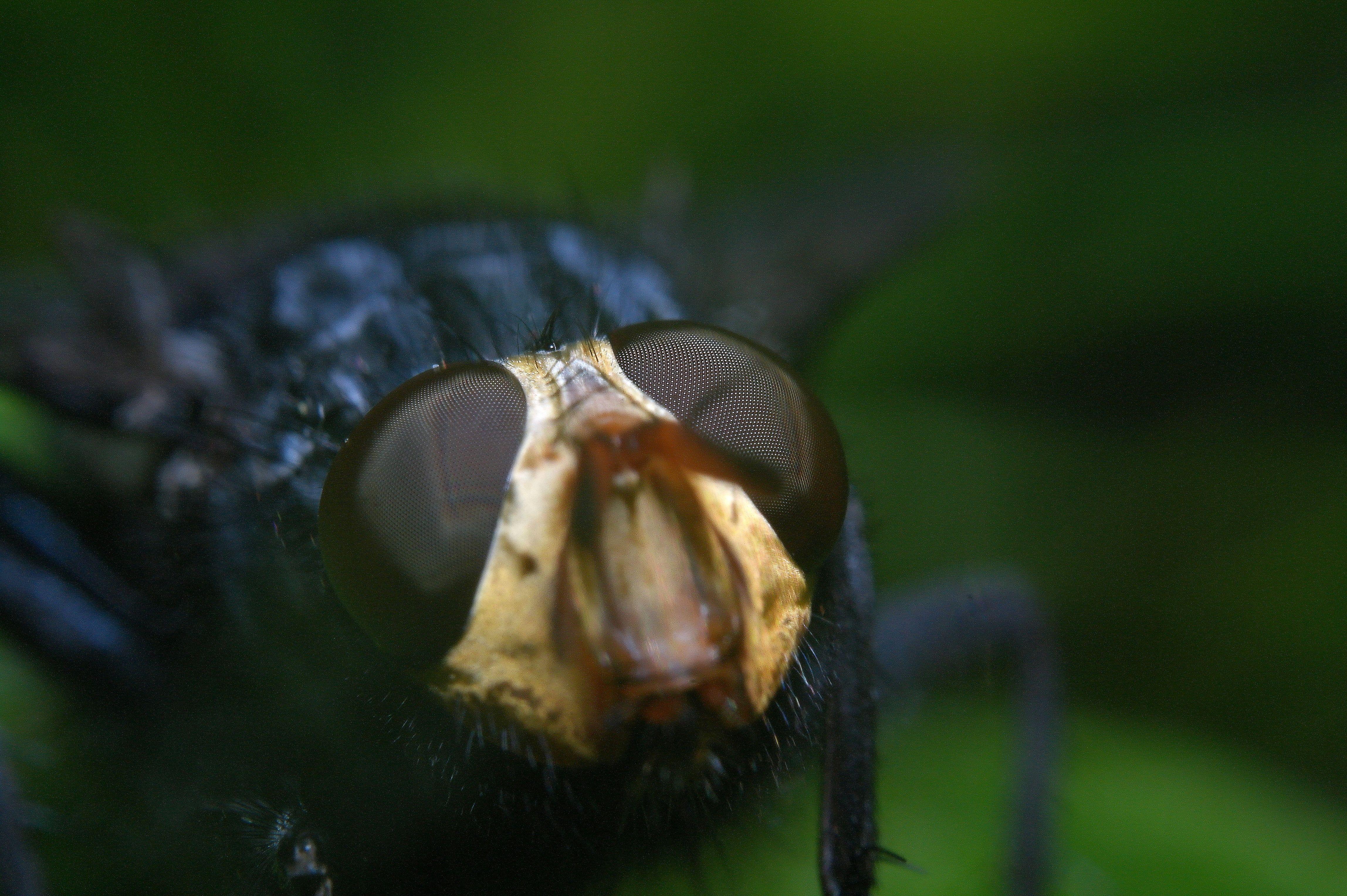 blowfly_038