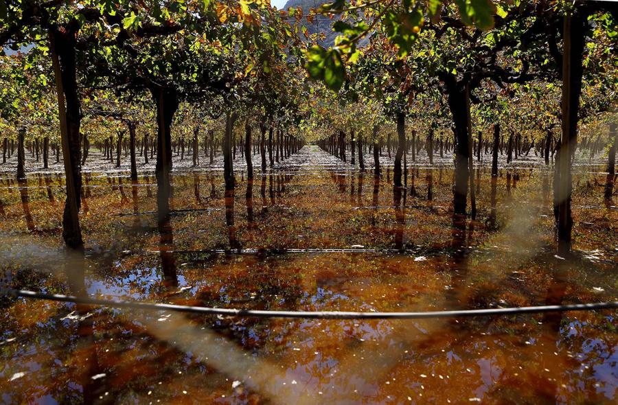 Виноградник покрыт сточными водами из канализации, из-за наводнения в городе Los Loros, Чили.