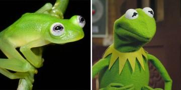 Ученые нашли реальный прототип лягушонка Кермита