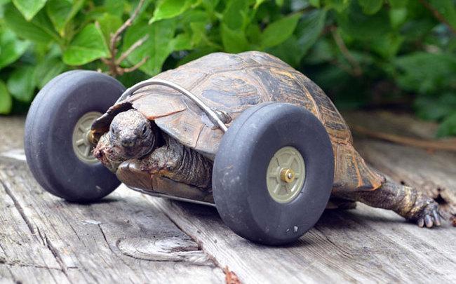 Вложив $1500 в счета на ветеринара, Джуд (хозяйка черепахи) все еще боялась, что миссис Т (имя черепахи), придется усыпить. Но сын Джуд, инженер-механик, создал альтернативу передним лапкам черепахи.