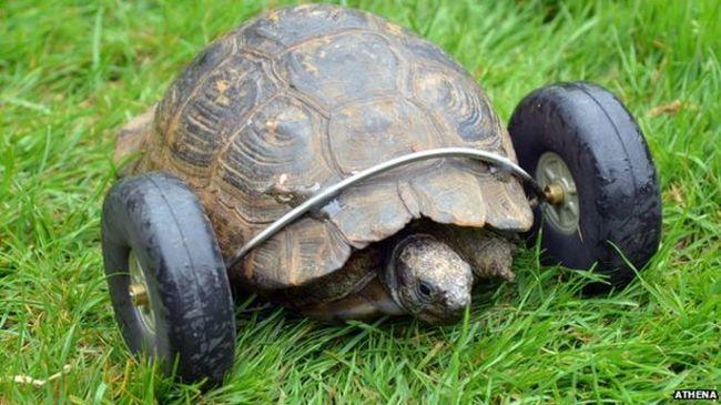 И теперь Джут может легко найти черепашку, т.к. колеса оставляют следы.
