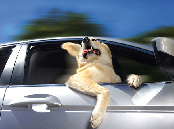 dogs_car_11