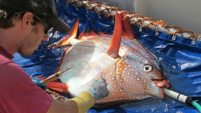 """Опах, также известная как """"Рыба-луны"""", способная греть своё тело от 7 градусов до 9 градусов по Фаренгейту, в более холодной воде, благодаря мощным грудным плавникам которыми рыба двигает."""