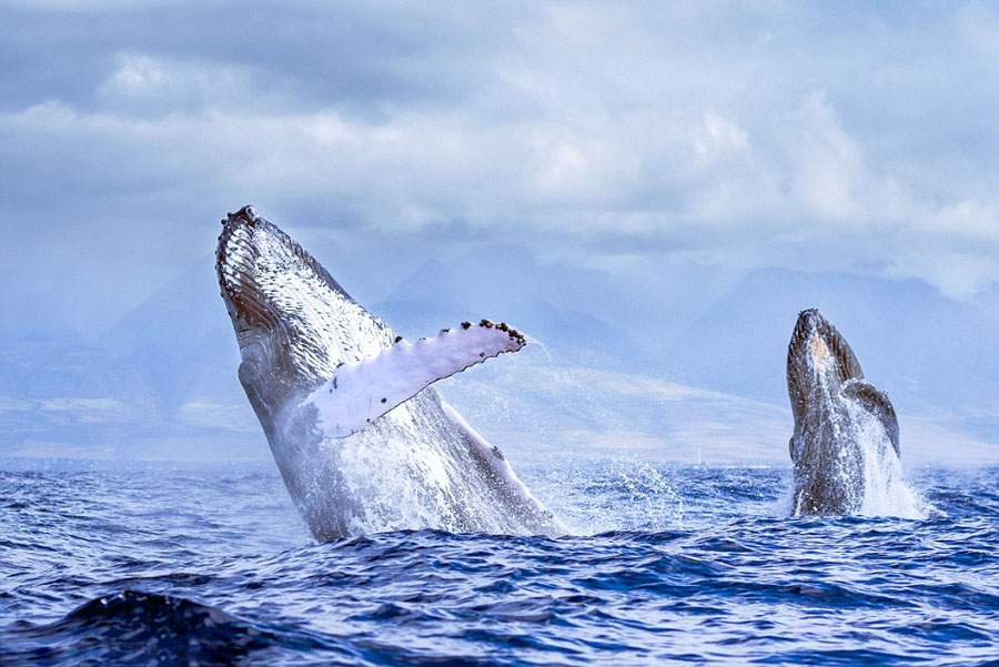 humpback whales_01