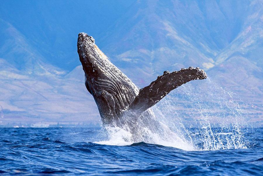 humpback whales_02