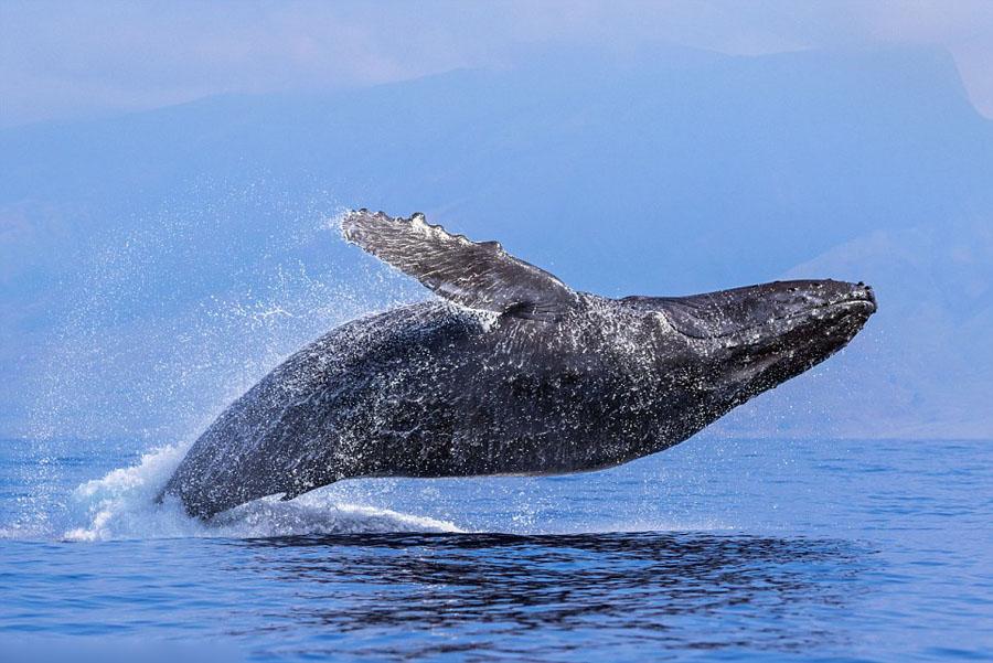 humpback whales_04