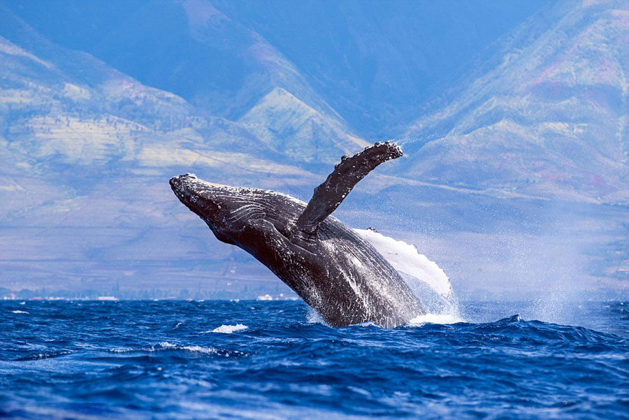 humpback whales_05
