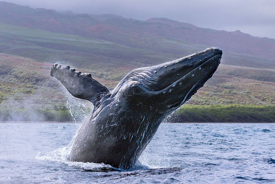 humpback whales_06