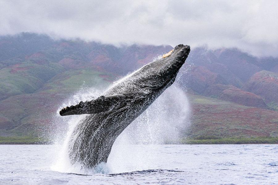 humpback whales_07