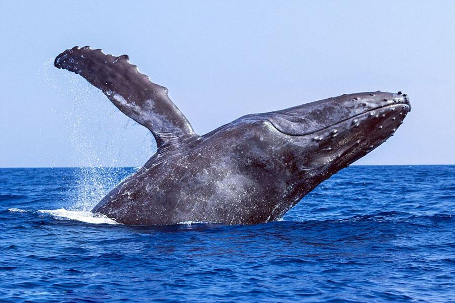 humpback whales_08