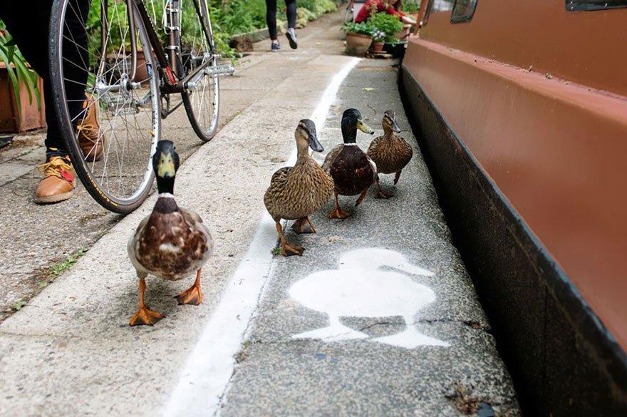 Британские утки получили собственный тротуар