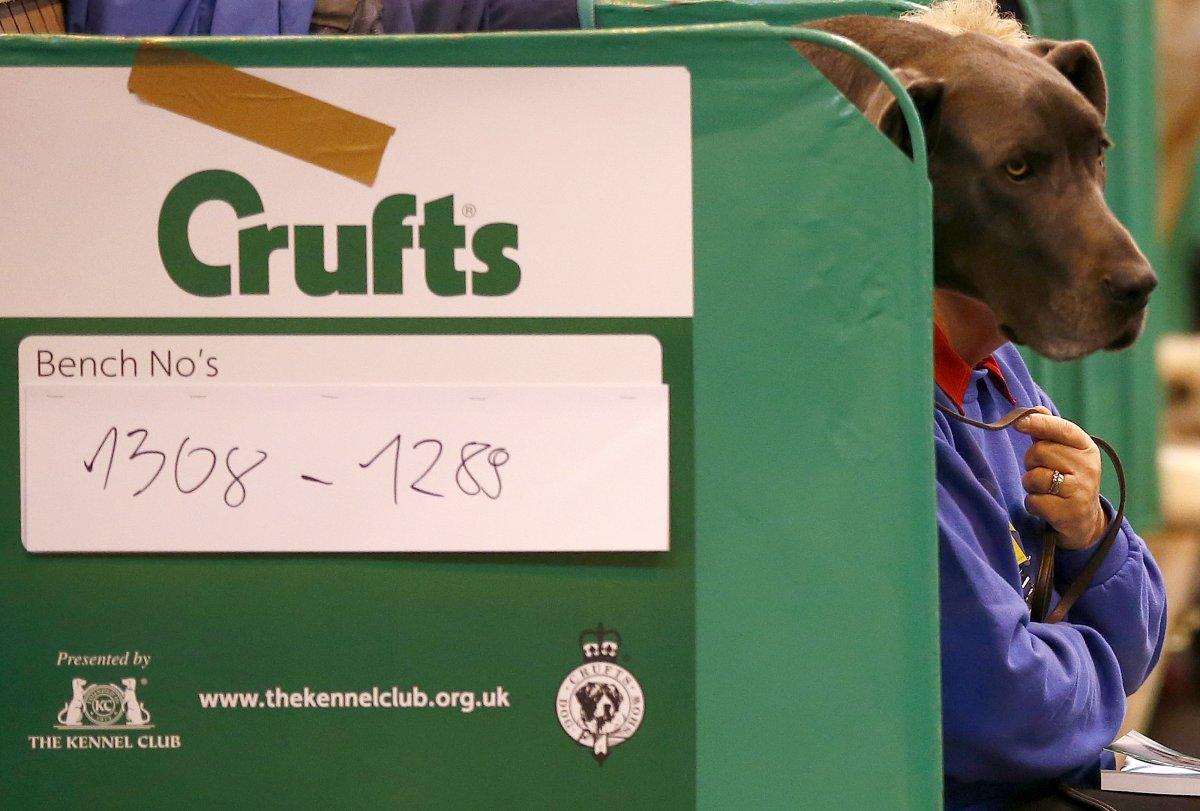 Человек или собака? Дог закрывает лицо своего хозяина на выставке в Бирмингеме, Англия.