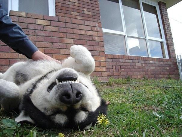 Животные любят когда им чешут животик