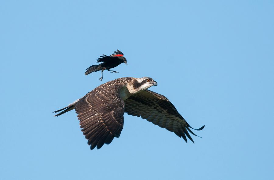Скопа и красный крылатый черный Дрозд, фото: Петр Хардлов