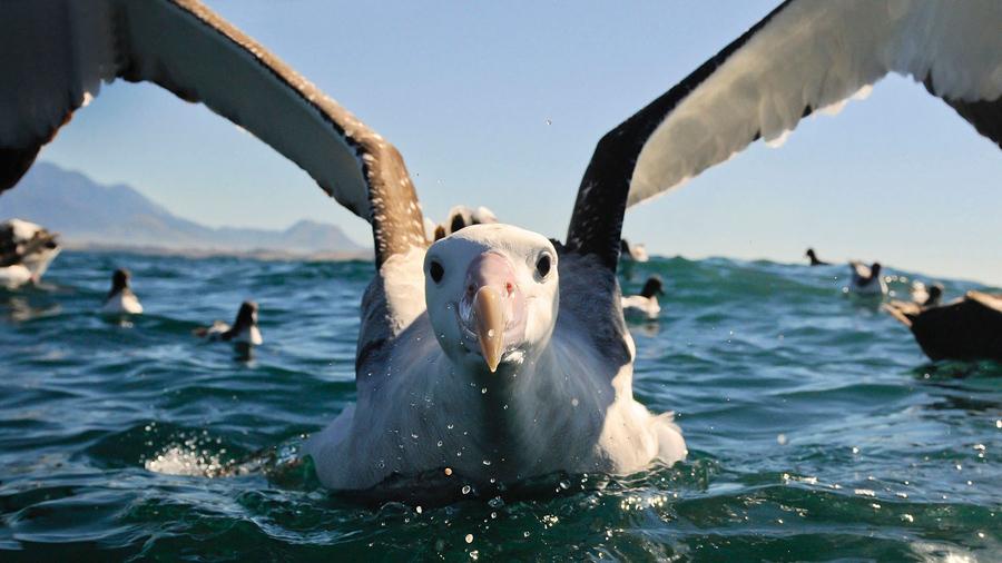 Странствующий альбатрос, фото: Билл Клип