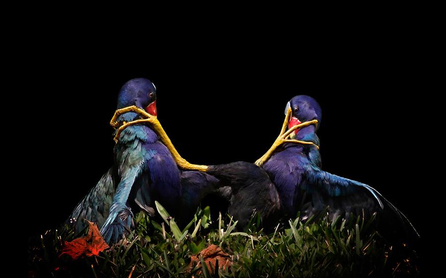 Фиолетовый Gallinules, фото: Мария Ангела Лузадер