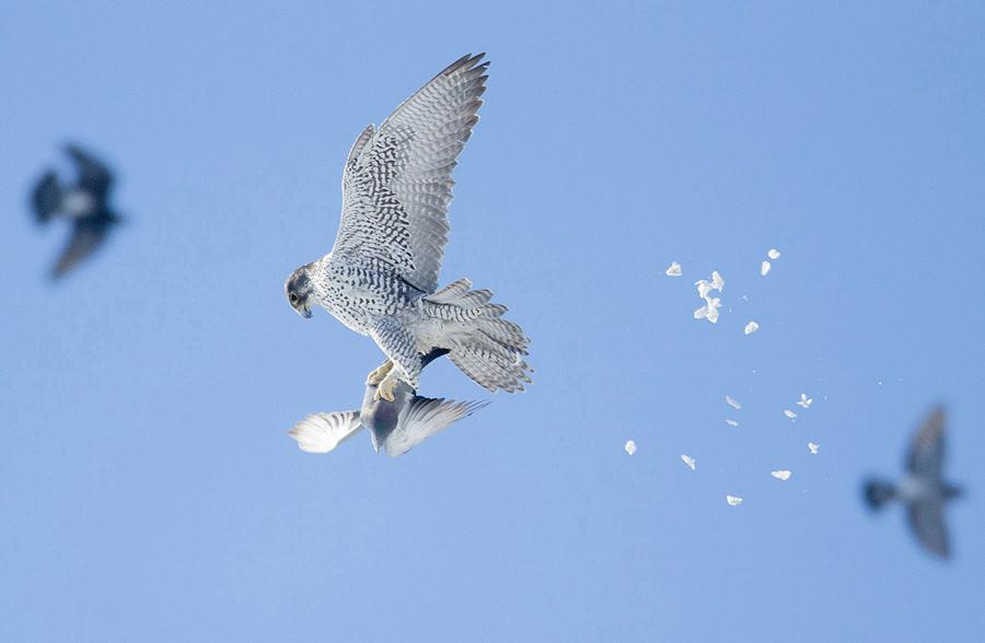Кречет и сизый голубь Фото: Гарри Кохун