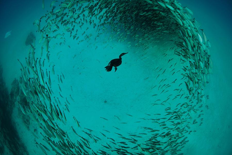 Хохлатый Баклан, фото: Крис Кувшин (победитель)
