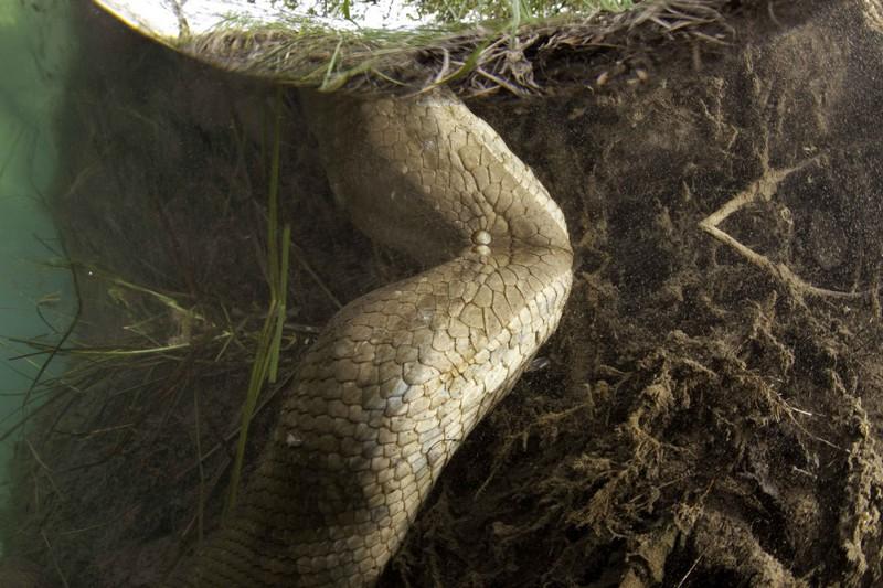 Анаконда в естественной среде обитания. Штат Мато Гроссо до Суль, Бразилия, ноябрь, 2012 года. © Франко Банфи