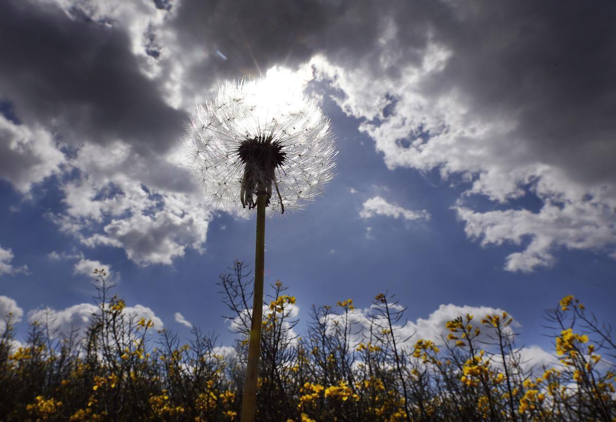 Одуванчик и небо в поле, Дуйсбурге, Германия. (Фото:: Frank Augstein)