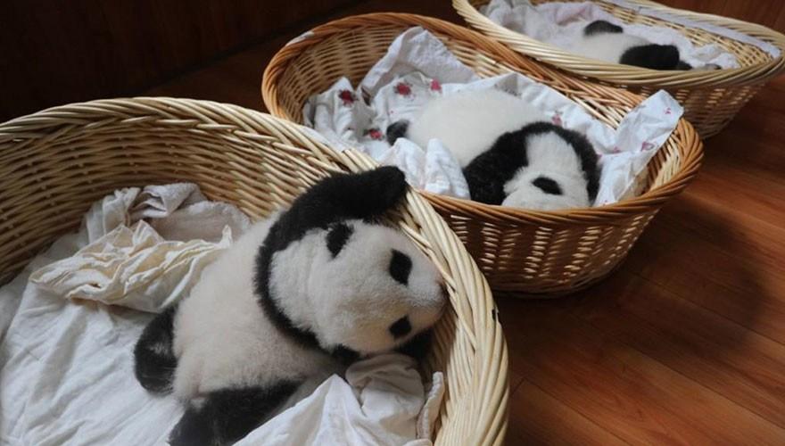 baby_pandas_1