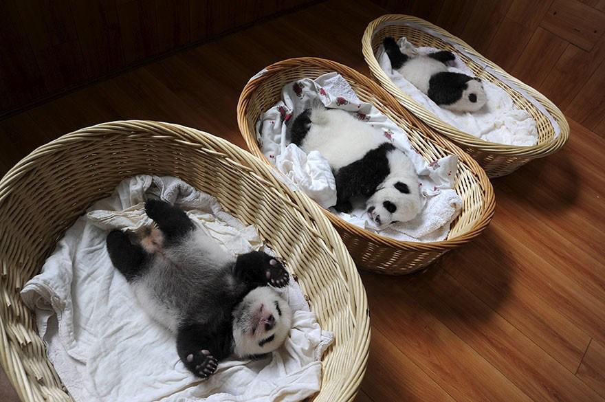 baby_pandas_10