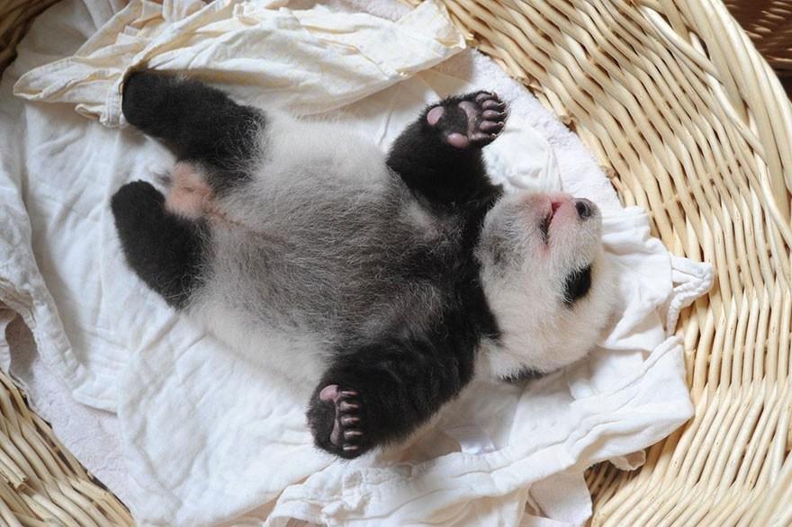 baby_pandas_11