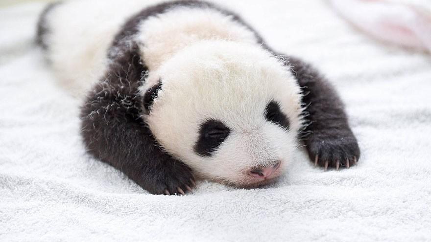 baby_pandas_12