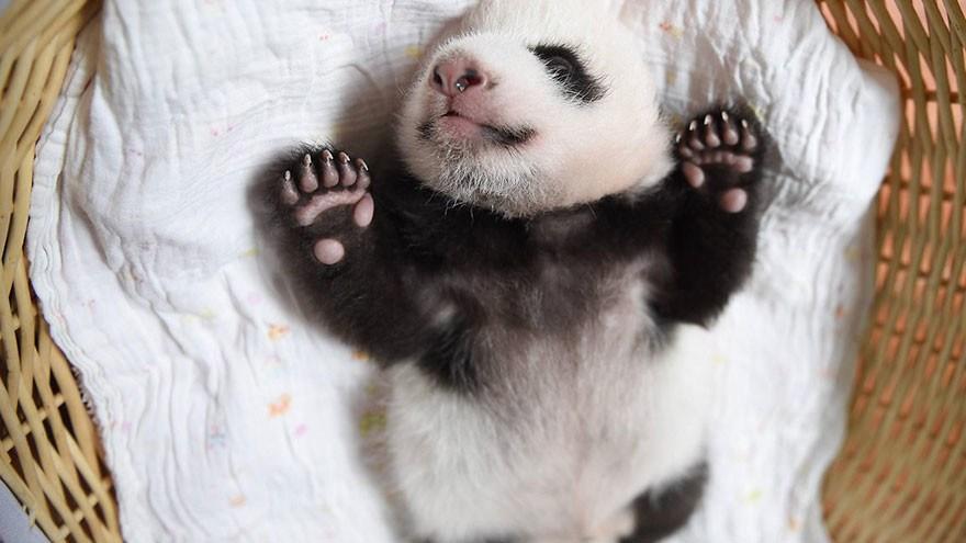 baby_pandas_15