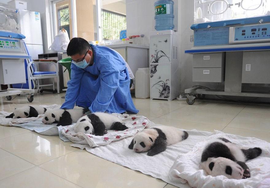 baby_pandas_4