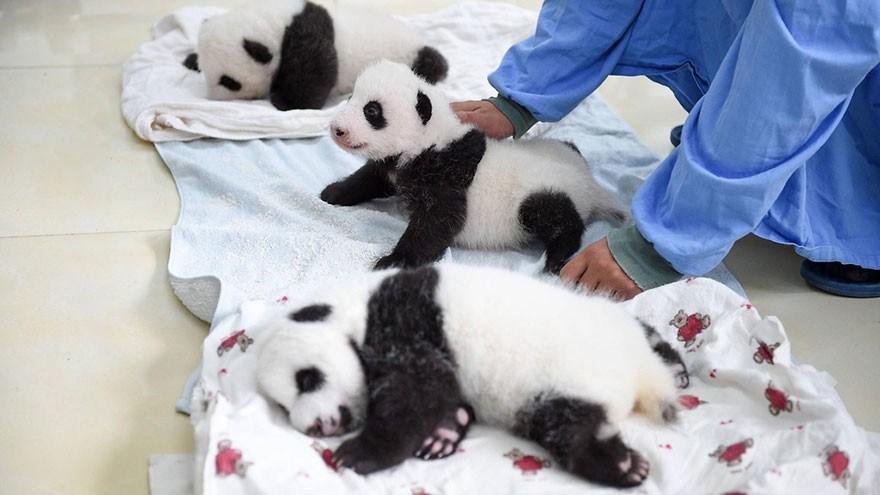 baby_pandas_5