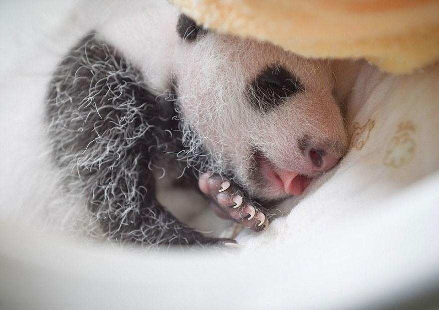 baby_pandas_6