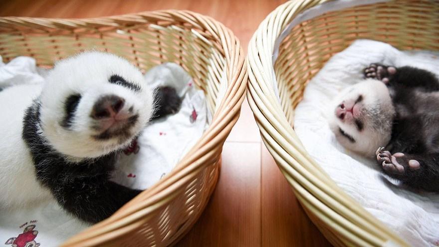 baby_pandas_7