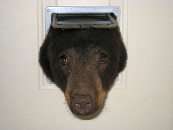 black_bear_1
