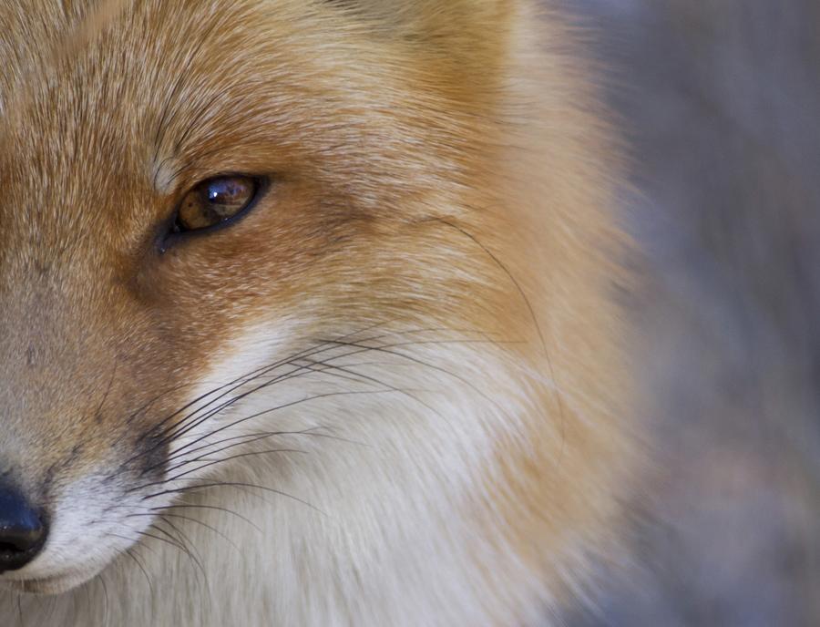 Дикая лиса у границ парка в Нью-Джерси. Я видел ее несколько раз в этот день, чаще всего лиса пытается спрятаться, но тут вышла из леса и наблюдала за мной несколько минут. Я останавливался на приличном расстоянии и мы смотрели друг на друга а затем через минуту или две он/она повернулась и исчезла в деревьях.