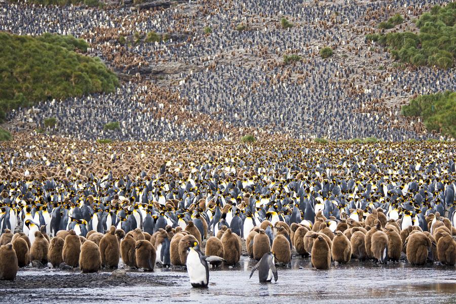 Это был пожалуй самым напряженным момент всей моей поездки в Антарктиду, я стоял между сотнями тысяч пингвинов. Спасибо всем тем странам и лицам, участвующим в поддержании таких местах нетронутыми!