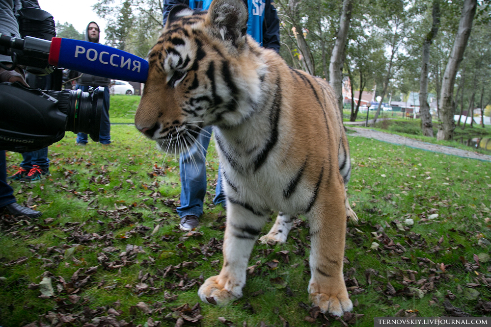 tiger_WORLD_12