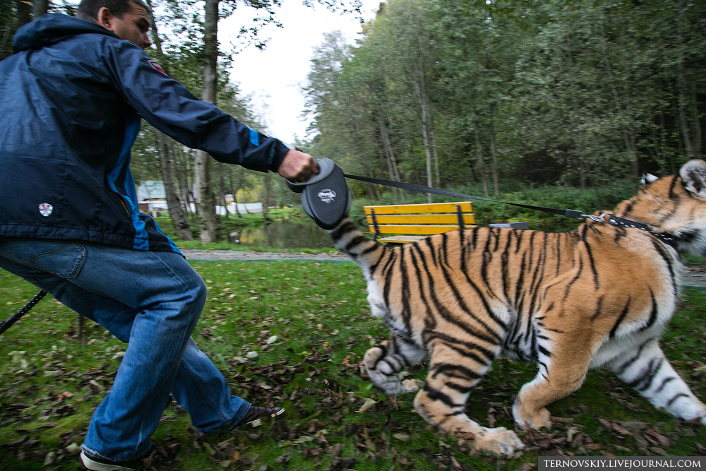 tiger_WORLD_14