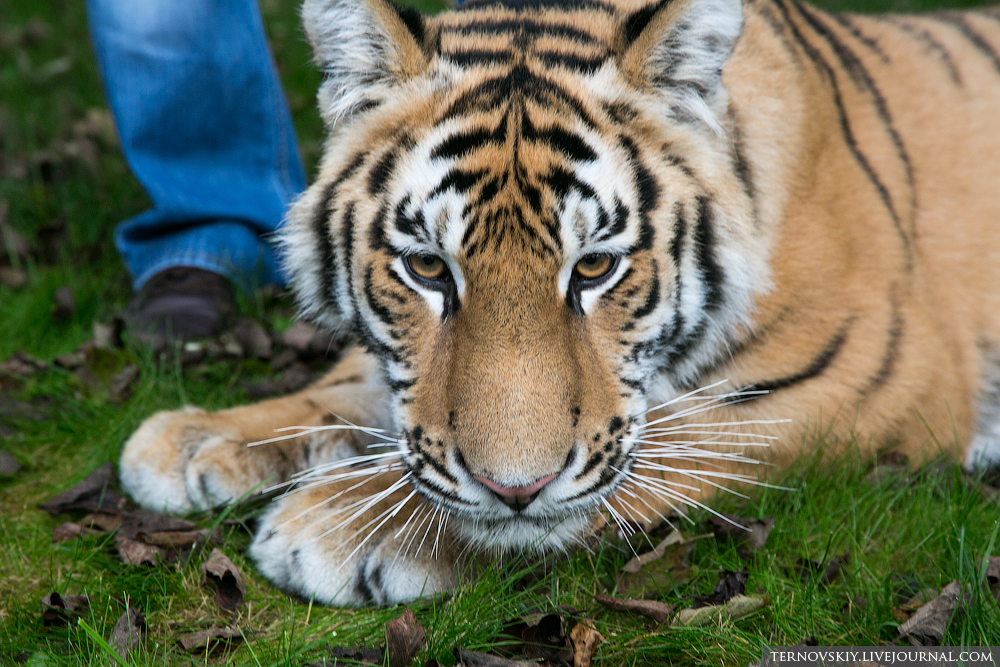 tiger_WORLD_15