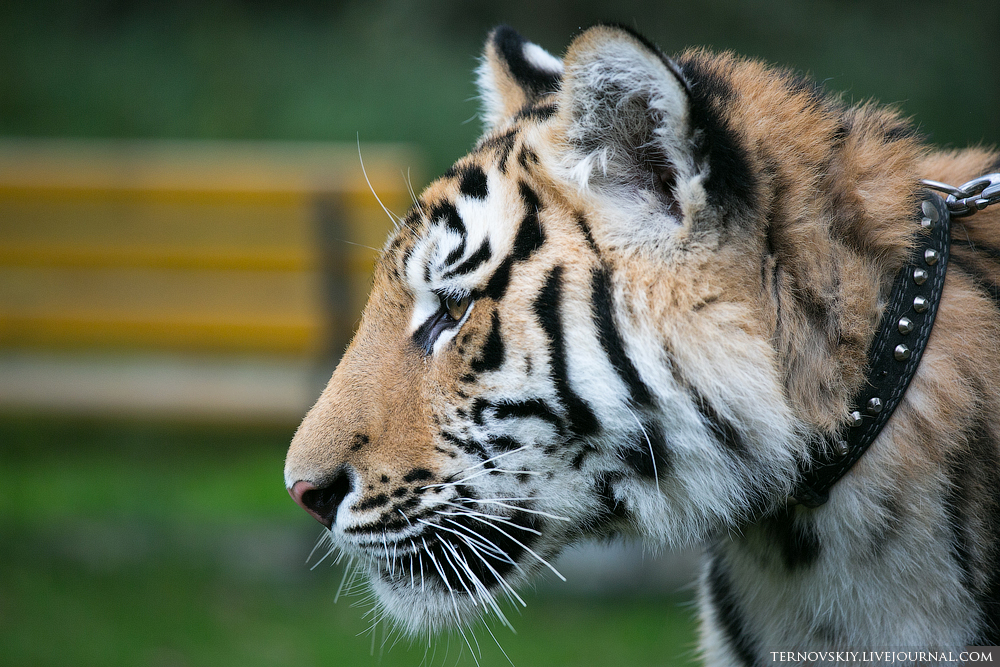 tiger_WORLD_7